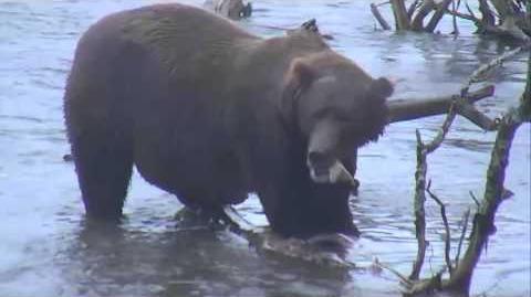 Brooks Falls - Katmai National Park, Alaska Cam 09-11-2015 09 51 01 - 09 55 58
