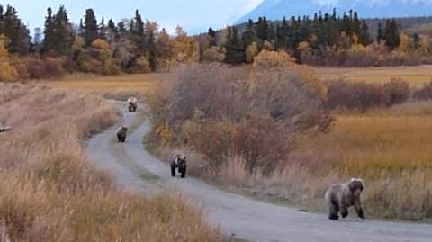 435 Holly's adopted yearling chases subadult bear 500 10 05 2014 video by KNP&P