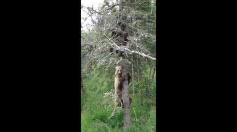 Brown Bears Do Climb Trees by Zealandia Designs