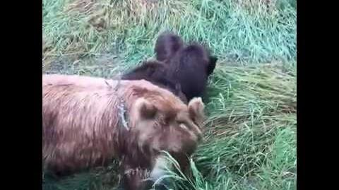 Katmai NP 2015 402 with her 4 spring cubs video by Ross Baldwin