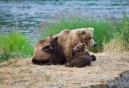 Unidentified sow with 2 spring cubs July 9, 2019 photo by NWBearLove92 .07