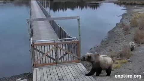 171 and her little cub October 20, 2014 video by JoeBear