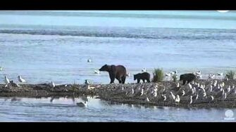 Unidentified sow with 3 coy's 9 23 15, 10am by Mickey Williams (504 with 3 spring cubs btb 821 831)-0