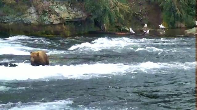 Diver Jr (Brown Bear No 51) At The Falls, 23 June - 3 July 2017 video by GreenRiver
