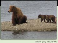 409 BEADNOSE PIC 2007.07.xx w SPRING CUBS 130 TUNDRA & ARCTIC 2nd KNOWN LITTER in 2012 BoBr iBOOK 02