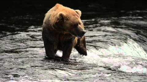 Bear eating salmon at top of waterfall by Nick Dale Published November 7, 2015
