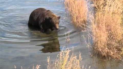 Bear walking by video by Arlo Tol