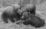 GRAZER 128 PIC 2016.07.19 3 SPING CUBS LARGEST CHEWS SMALLESTs EAR TRUMAN EVERTS POSTED 2016.09.02 07.01