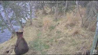 Bear 504 and Cubs Brooks Falls Katmai 2016 10 21, video by Erum Chad-1