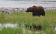 INFO BEARS SEEN 2015.06.07 or BEFORE 856 FROM TOP OF BROOKS LODGE NEWSLETTER DATED 2015.06.07