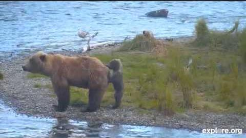 Part 2 Momma Bear with tiny Cub July 16, 2015 video by MsDebbiB