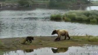 Unknown sow (6 28) and 1 coy near the bridge 7 3 2020, video by Lani H