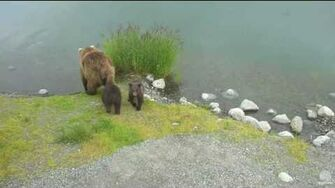 12;25am 6-23-16 Part 1 Beadnose 409 and cubs Katmai National Park and Explore by Mickey Williams