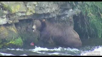 2018 08 18 Bear 801 catches a huge salmon, video by Cheryl B