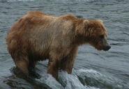BACKPACK 89 PIC 2013.07.xx NPS PHOTO THE RESILIENT BEAR KATMAI TERRANE BLOG