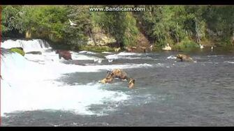 Bear 128 Grazer grazed 801 (Not274) and 32 Brooks Falls Katmai 2017 07 30, video by Erum Chad