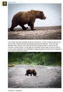 INFO BEARS SEEN 2016.06.13 RDAVE 2016.06.14 08.47 COMMENT 410 & 2 OTHER UNIDd BEARS - 435 & 747 no32 MATING FALLS ISLAND 01 & 02