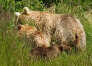 435 Holly (background) with her spring cub (719 foreground, right) and adopted yearling (503 foreground, left) July 25, 2014 photo by Tina Crowe (aka CalliopeJane) at Margot Creek