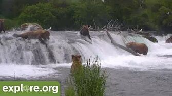 Bear 274 Overflow Goes Over Brooks Falls Face First! Explore Highlight video