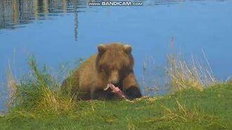 Close up of bear 804 (806) Lip fisher RW Brooks Falls Katmai 2018 10 07, video by Er