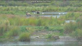 Bear 402 new emancipated cubs and 610 playing LR cam 2017 08 12 by Erum Chad (aka Erie)