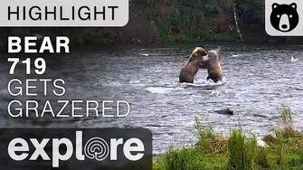719 Gets Grazered - Katmai National Park - Live Cam Highlight