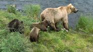 GRAZER 128 PIC 2016.07.08 w 3 SPRING CUBS JEN POSTED 2019.05.12 02