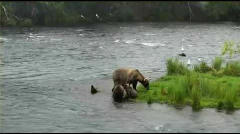 Grazer cubs argument 8.5