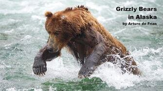GRIZZLY BEARS IN ALASKA by Arturo de Frías 2018
