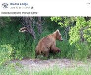 INFO BEARS SEEN 2019.06.19 or PRIOR BL 2019.06.19 09.15 FB POST w KARA STENBERG PIC SUBADULT THROUGH CAMP