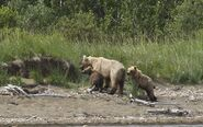 435 Holly (background, center) with her spring cub (719 background, left) and adopted yearling (503 foreground, right) July 25, 2014 photo by Tina Crowe (aka CalliopeJane at Margot Creek