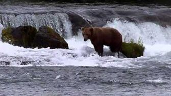Big old bear scans Brooks Falls for fish, video by MSO Belle, 6 29 2015 or prior