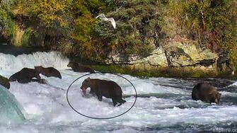 The Prince of Katmai Grows Up, Brooks River Brown Bear No