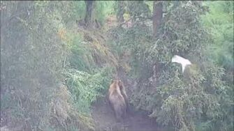 2017-07-19 39 (not 153) and cubs on far bank at falls, video by birdnerd57