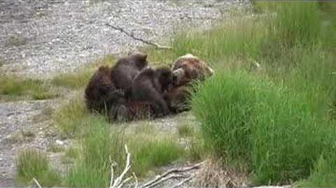 410 nursing 2 spring cubs in early season 2007 (07 07 2007 or prior)