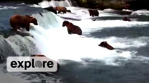 Brooks Falls Feeding Frenzy July 2013 (July 11, 2013 or prior) video by Explore