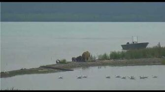 482 Brett and coy on end of spit 7 15 2018 appx 11am AK, video by Lani H