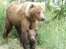 Unknown sow with 1 spring cub June 28, 2020 NPS photo by Ranger Naomi Boak