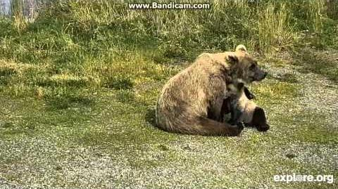 273 and cub Explore org LR cam 8-20-15 video by Martina
