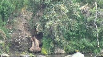 Grazer and Beadnose having a fight, they both had the cubs in the same tree, Brooks Falls June 25, 2017 by Ruxandra Nicole