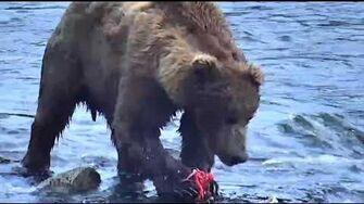 Bear 775 Lefty 2019, video by Deanna Dittloff