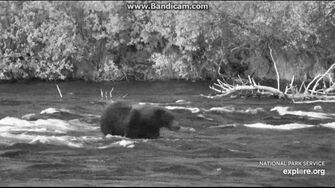 Damaged Nosed Bear Above the Falls, 2018-9-30. Video by Birgitt