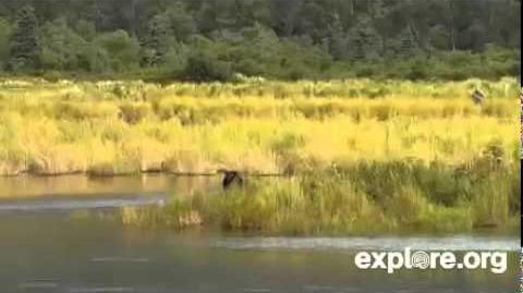 Katmai Park Lower River Bear Cam 8 28 14 Lone Spring Cub Appears by Juanita Roper (aka BirdyGirly)