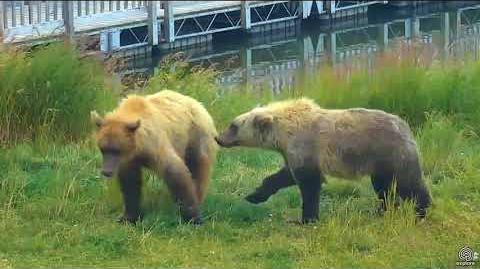 2 Subadults (610 maybe & who) playing on grassy point LRE cam 08 13 2017 20 00 video by SteveCA