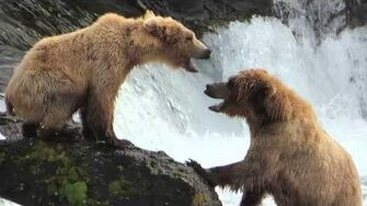 Bear Fight by Hermosa Paul (2014 410 & 273)
