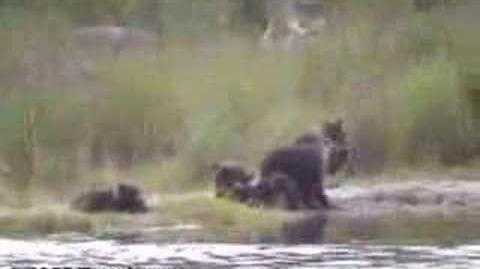 Bear cubs of the year playing and whining 2003 by Eric Jones