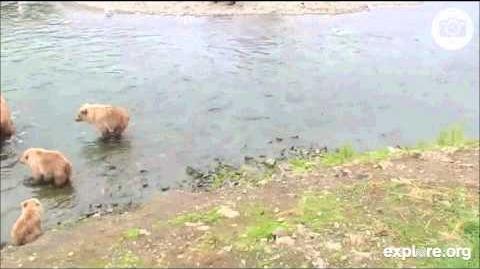 Momma Beadnose with her 3 cubs at 530pm July 19, 2013 video by MsDebbiB-0
