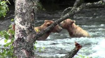 Grizzly bear romance in Katmai National Park by laddnshirl
