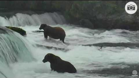 09 16 410 (foreground) with 32 Chunk (far pool) and other bears 08 10 2016 video by Mickey Williams