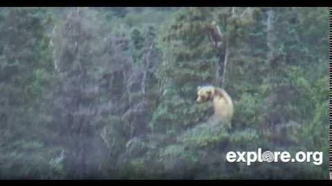 171 and 2 spring cubs treed near grassy point in lower river area 7 17 2014 (Alaska time) video by JB Grace